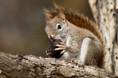 North American red Squirrel Stock Images