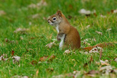 North American Red Squirrel Stock Image