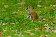 North American Red Squirrel. Standing in the short grass. Ashbridges Bay Park, Toronto, Ontario, Canada royalty free stock photo