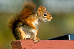 North American red Squirrel Royalty Free Stock Image