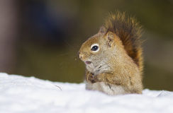 Funny red squirrel Royalty Free Stock Image