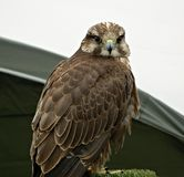 A Red Tailed Hawk that is being used for Falconry. A north american red tailed hawk in the uk,in the photo he is looking straight at the camera,he is a bird of royalty free stock photos