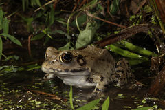 North American River Frog – Rana hecksheri Royalty Free Stock Images