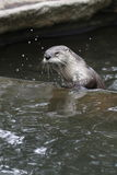North american river otter Royalty Free Stock Image