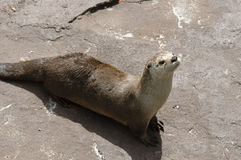 North American River Otter Stock Photography