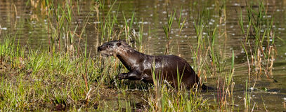 North American River Otter Royalty Free Stock Photography