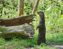 North American River Otter. A river otter in South Carolina Stock Photography