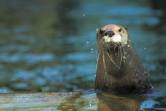 North american river otter Royalty Free Stock Photos