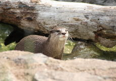 North American river otter Stock Images