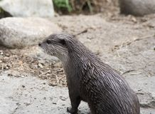 North American River Otter. Close up of North American River Otter stood in countryside Royalty Free Stock Images