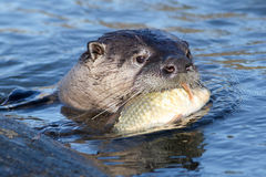 North American river otter eating fish Royalty Free Stock Photos