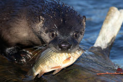 North American river otter holding a fish in his mouth (Lontra c Stock Image