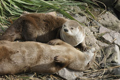 North American River Otter Stock Image