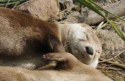 North American River Otter Stock Photos