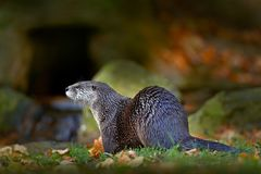 North American river otter, Lontra canadensis, detail portrait water animal in the nature habitat, Germany. Detail portrait of wat. Er animal stock photo