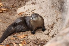 North American river otter Lontra canadensis 2. A North American river otter Lontra canadensis at a local zoo royalty free stock images