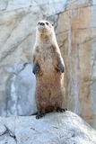 North American River Otter (Lontra canadensis pacifica) Stock Photography