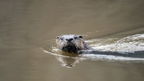 River Otter swimming in muddy Georgia pond, USA stock images