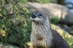 North American river otter (Lontra canadensis) Royalty Free Stock Image