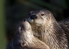 North American River Otters - Lontra canadensis. A bitch otter nuzzling her cub in dappled light Stock Photography