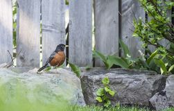 A North American Robin in a Backyard Garden Stock Images