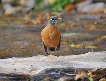 North American robin bird Royalty Free Stock Images