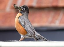 North American robin on roof with twigs in mouth stock photos