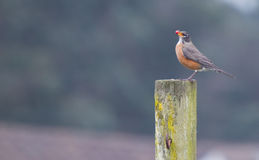 North American Robin (Turdus migratorius). The American Robin or North American Robin (Turdus migratorius) is a migratory songbird of the thrush family Royalty Free Stock Photo