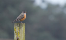 North American Robin (Turdus migratorius). The American Robin or North American Robin (Turdus migratorius) is a migratory songbird of the thrush family Royalty Free Stock Photos