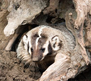 North American Short Legged Badger Emerging from Safety of Burro Royalty Free Stock Photo