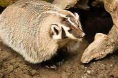 North American Short Legged Badger Wild Animal Mustelidae Family. Badger roams a short distance from his burrow and roots around for worms and grubs royalty free stock photography