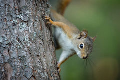 North American Squirrel climbing on tree in backyard Royalty Free Stock Photo