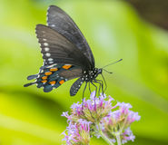 North american swallowtail butterfly, close up macro shot Stock Image