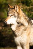 North American Timberwolf Wild Animal Wolf Canine Predator Meat. A Wolf stands observing a Squirell climbing a tree close by Stock Photo