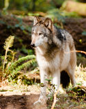 North American Timberwolf Wild Animal Wolf Canine Predetor Meat Stock Images