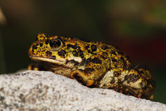 North American Toad Stock Image