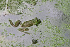 North American wild bullfrog. This is of a north American green and brown pawn bullfrog stock photography