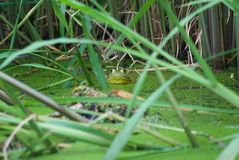 North American wild bullfrog. This is of a north American green and brown pawn bullfrog royalty free stock photos