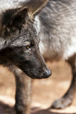 North American Wolf Stock Photos