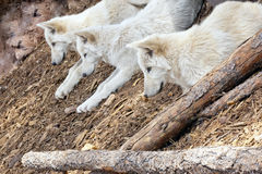 North American Wolf Royalty Free Stock Image