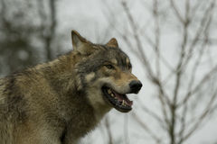 North American Wolf Royalty Free Stock Photo