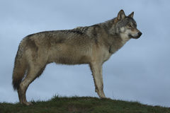 North American Wolf. Young male North American wolf staring into the distance full body Royalty Free Stock Photography