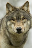 North American Wolf Royalty Free Stock Photos