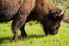 North American Wood Bison Royalty Free Stock Image