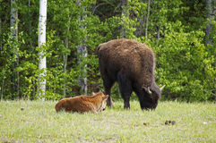 North American Wood Bison Stock Photos