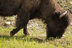 North American Wood Bison Stock Photo