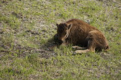 North American Wood Bison Royalty Free Stock Photos