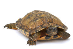 North American Wood Turtle Stock Photo