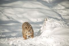 North Amiercan Bobcat. Bobcat close-up in snow with paw outstretched ,walking in a snow covered field Royalty Free Stock Photo