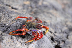 North Atlantic Ocean crab Stock Photography
